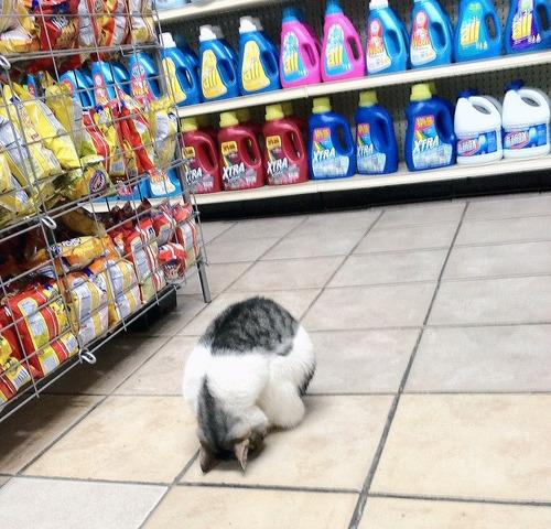 Este gato que decidió ir de compras durante las horas pico.