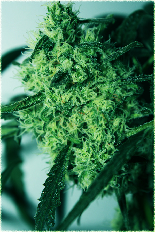 A great Critical Super Silver Haze bud, with 49 days of flowering. From Delicious Seeds.