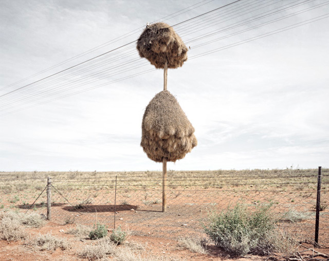 Las jerarquías masivas de aves construido sobre postes de teléfono en el sur de África son el hogar de varias especies de aves nidos de aves naturaleza África